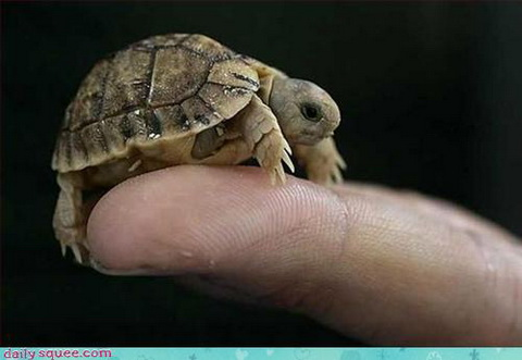 baby turtle will conquer your finger