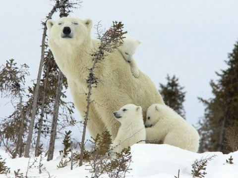 Polar bear family from Daily Squee!