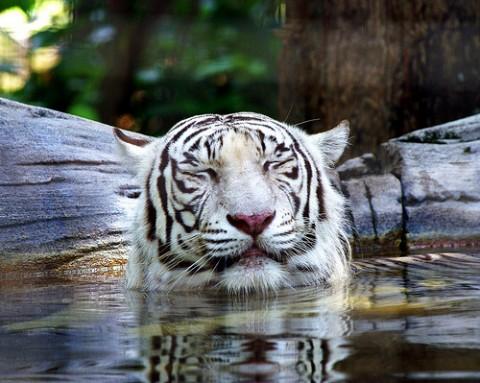 Sleepy Tiger by MasaiWarrior