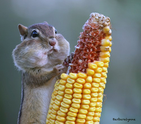 Chompin' Chipmunk via Daily Squee