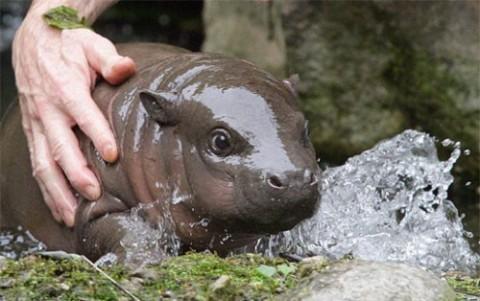 haht a cute Baby Hippo via Daily Squee