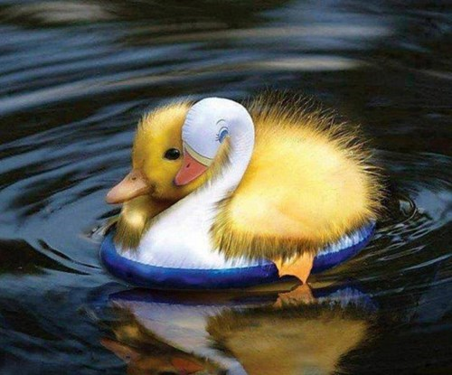 Little Duck Is Learning To Swim via Daily Squee