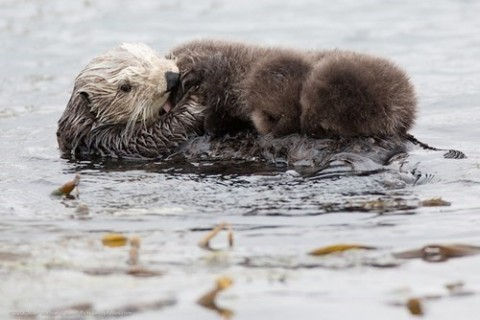 What A Lotta Otter! via Daily Squee