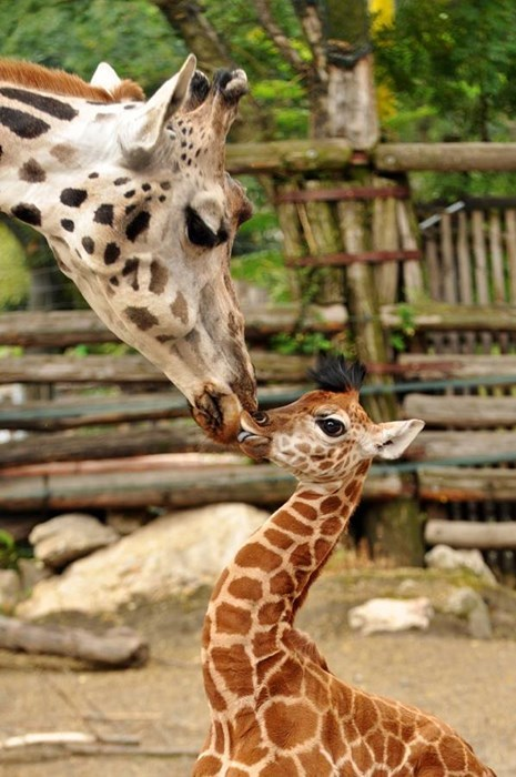 Kissing Giraffes via Daily Squee